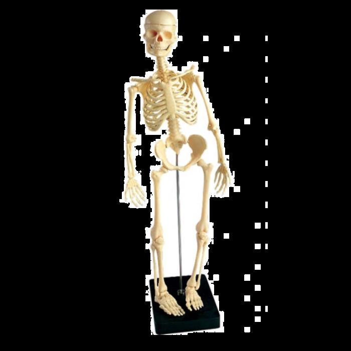 Mini-skelet, 41cm hoog