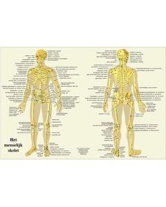 Poster Het menselijk skelet 60x42cm