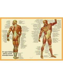 Poster De oppervlakkige spieren van het menselijk lichaam A2